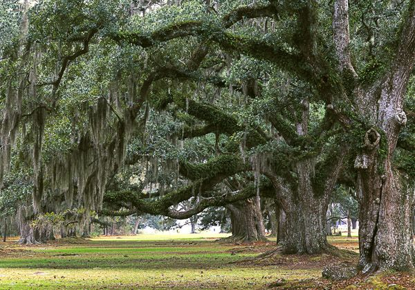 Epiphyte Poetry Pinterest Spanish Moss Live Oak Trees And Tree