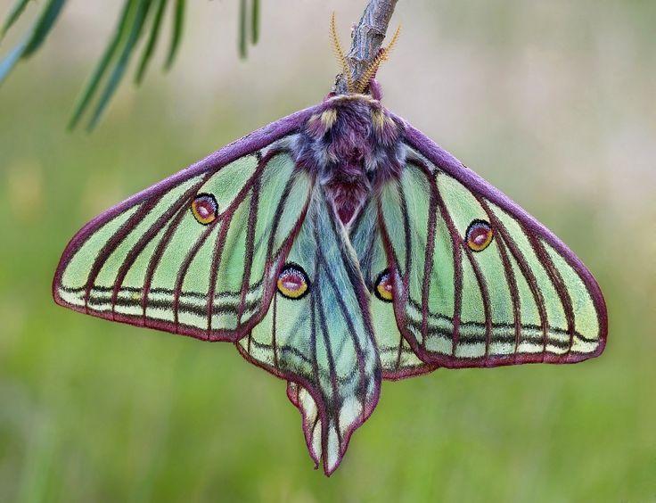 saturniidae moth - Google Search