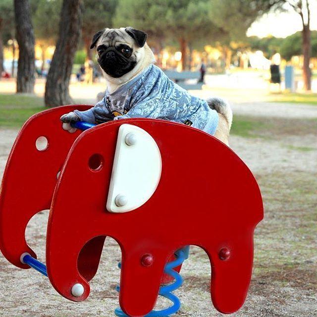 Quemando calorías... 💪🐾🐾 #pug #pugoftheday #pugs #puglife #puglove #pugstagram