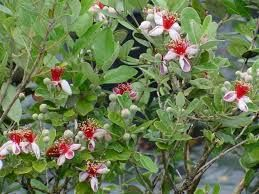 Image result for pineapple guava tree images