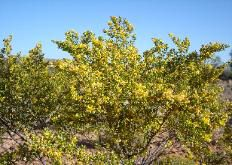 Chaparral Creosote Bush In Bloom Foraging Wild Foods