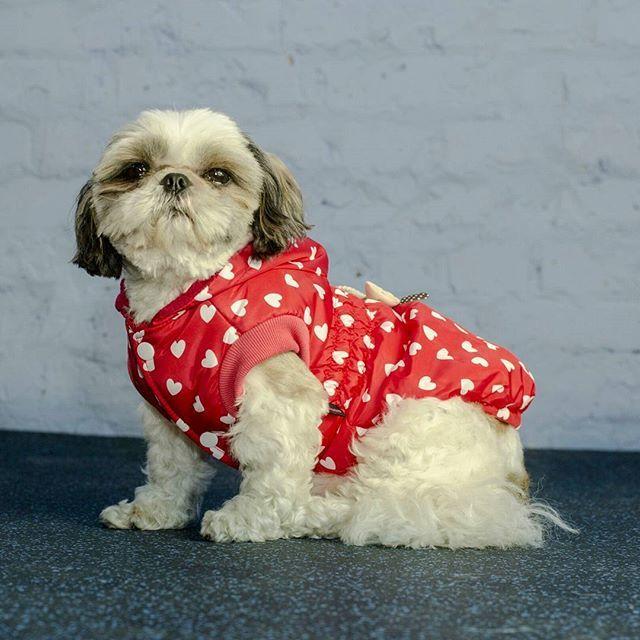 Куртка для собак бывает незамениной единицой в гардеробе собаки когда на улице прохлодная и особенно дождливая погода.