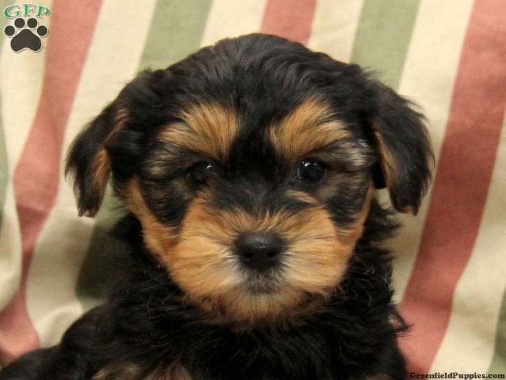yorkie poo puppies for sale in pa 9 best images about yorker poo s on pinterest poodles 9881