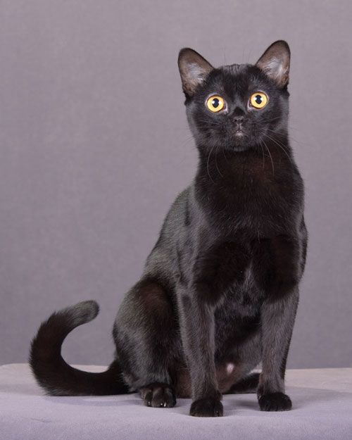 Bombay cats, despite their pantherlike appearance, are congenial and outgoing, and do well with children.