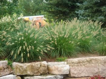 91 best images about ornamental grasses on pinterest sun for Fountain grass for shade