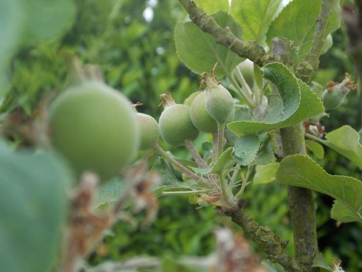 Howgate Wonder Apple Fruit Tree.