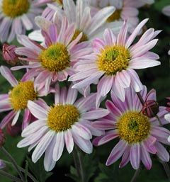 Chrysanthemum Indicum-Hybride 'Hebe' - Herbst-Chrysantheme