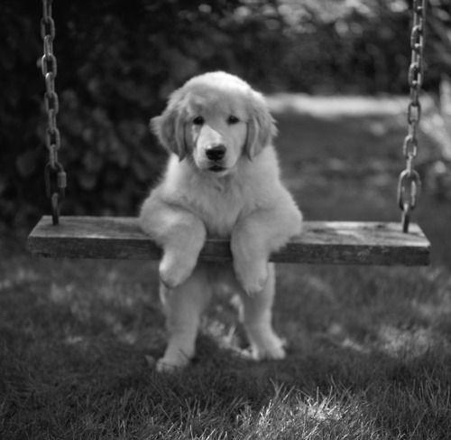 *Golden Puppies, Dogs, Doggie Treats, Little Puppies, Golden Retrievers, Adorable Puppies, Golden Puppy, Animal, Swings Sets