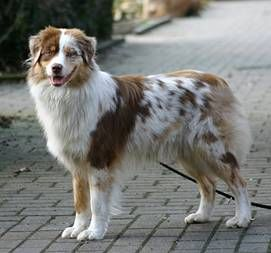 I love all the colors and patterns of Australian Shepherds