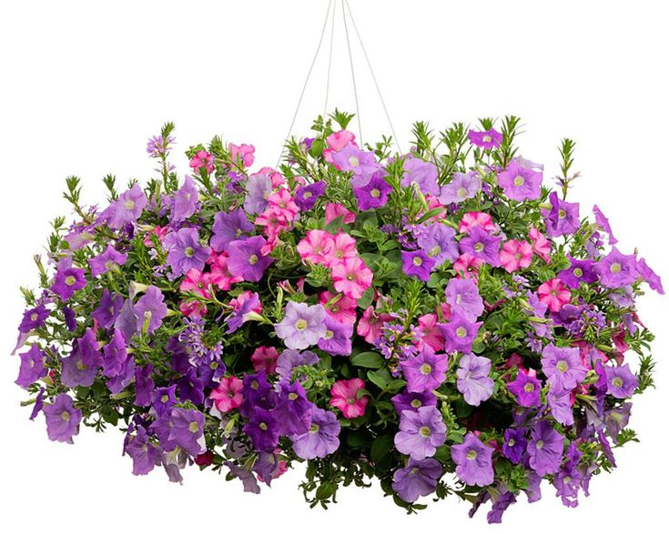 Hanging Basket Elevated Beauty Featuring Petunias Supertunia