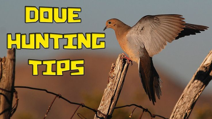 Going dove hunting? Follow these steps and get ready to shoot. #hunting https://youtu.be/NWJwrQz3LrI