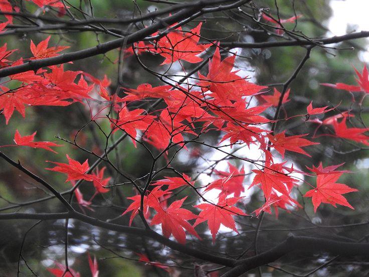 紅葉の終わりに落ち葉の絨毯を歩く【中野邸美術館:新潟県】