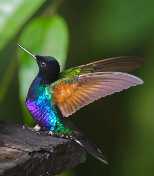Velvet Purple Coronet This bird has just landed and is doing its characteristic aggressive display. Photographer: Durwood Edwards | Camera: NIKON D700 | Date: 11/29/11 7:59 AM | Resolution: 634 x 720 | ISO: 800 | Exp. Time: 1/100s | Aperture: 5.6 | Focal Length: 380.0mm (~380.0mm) (528×600)