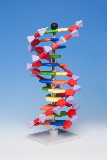 Leer de primaire en secondaire structuur van DNA met dit duurzame, zelfbouwmodel (hoogte 24 cm, doorsnede 11 cm).  Desoxyribonucleïnezuur of DNA is de belangrijkste chemische drager van erfelijke informatie in alle bekende organismen.    Een DNA-molecuul bestaat uit twee lange strengen van nucleotiden, die samen zich buigen tot een dubbele helix. De twee strengen zijn aan elkaar verbonden door zogenaamde baseparen. Onderzoek het zelf met dit zelfbouwmodel.