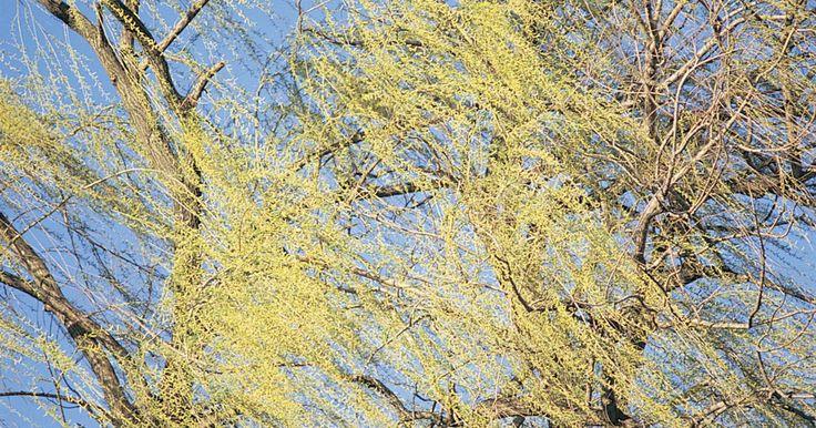 Cómo cultivar un sauce llorón a partir de una rama. El árbol de sauce llorón es originario de China. Es resistente en las zonas 4 a 8 del Departamento de Agricultura de Estados Unidos. Este árbol de crecimiento rápido tiene ramas en forma de cascada. A los sauces llorones les encanta la humedad pero son de corta duración ya que tienen un promedio de vida de unos 30 años. Desarrolla sus raíces ...