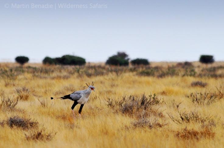 Ranger Diaries | Photos | Stalking Secretarybird at Dinokeng, Gauteng  By Martin Benadie