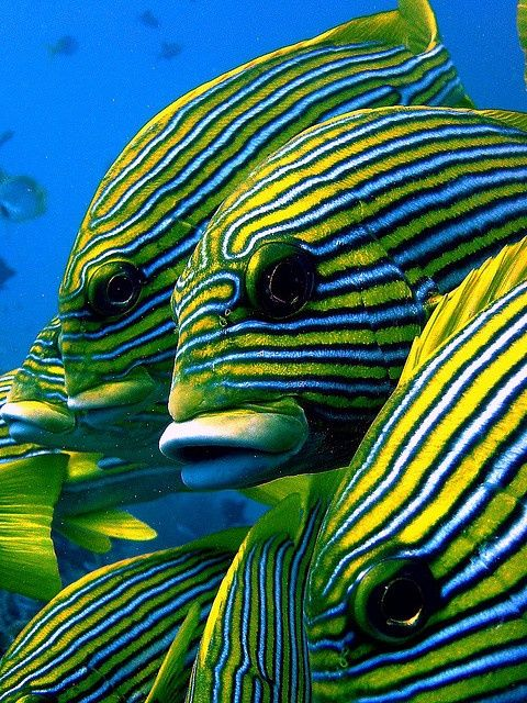 ribbon sweetlips by marika_treffert on Flickr