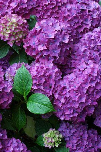 Bride's bouquet - 6 deep purpole hydrange; Bridesmaid's bouquets - 1 deep purple hydrangea