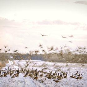 Geese Taking Flight Off Winter Field by K8tyBel