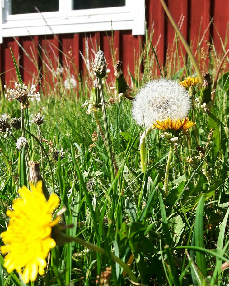 """""""Jag lät alla mina maskrosor finnas, fast jag vet att dom kallas ogräs och bör rotas ut. Men det är så skönt att sitta och minnas, små solar i gräset när sommar'n är slut.""""  (Carl-Anton Axelsson)"""