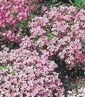 Vaste planten - bodembedekkers/rotsplanten | Tuinplantenwebshop.nl,Arabis is een bekende, rijkbloeiende bodembedekker of rotsplant voor een zonnige standplaats.