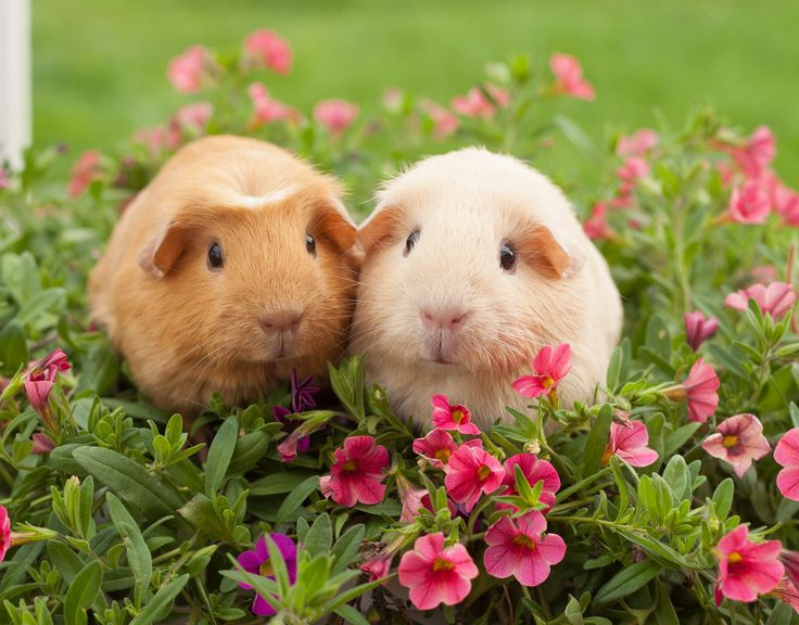 A golden American Crested Guinea pig and a blonde  American Crested  Guinea pig,lovely colours and even crests on their heads,would do very well in a show.