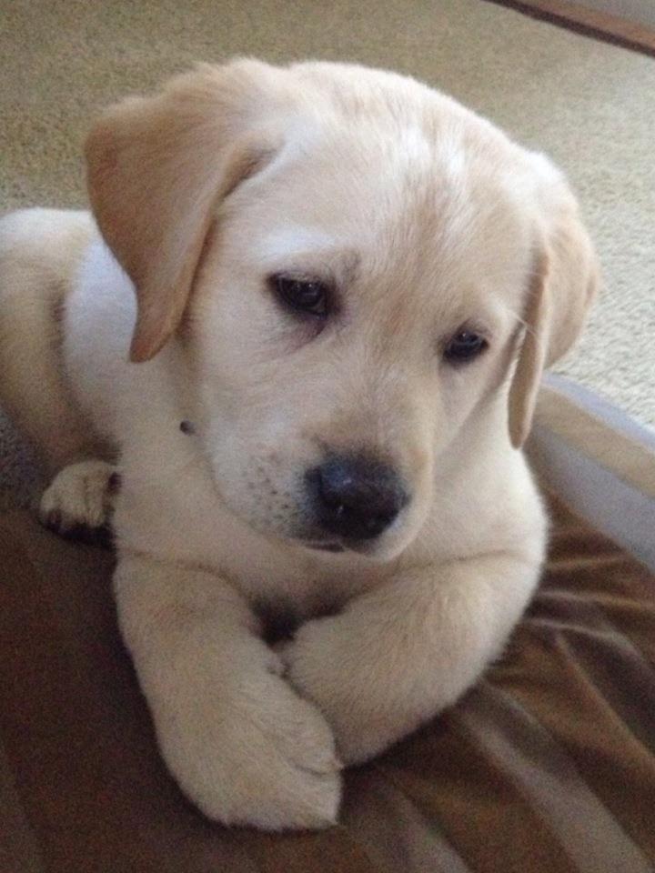 Puppy Jake Kennedy (yellow labrador)