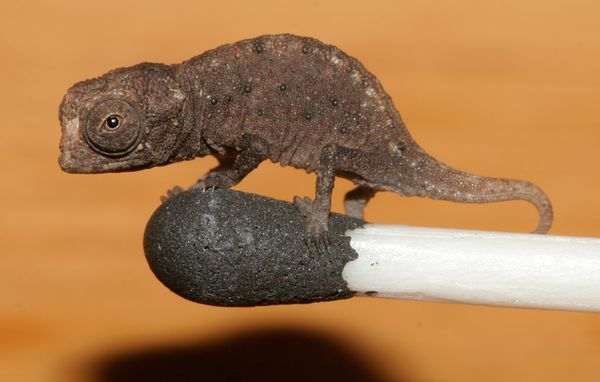 miniature chameleons discovered... they're so small, they fit on the tip of a matchstick... Cute? I think YES