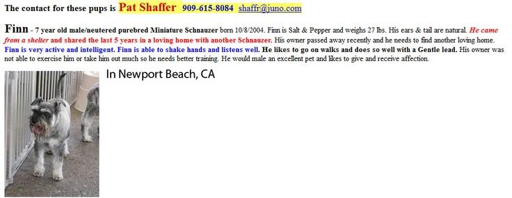 #Adopt 7 yr old Mini Schnauzer in #NewportBeach #CA Owner died :(: Mini Schnauzer, Minis Schnauzers, Minis Dog Qu