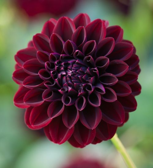 Along with 'Happy Holloween', the first and last to flower in my garden. A brilliant new variety, better than all similar blacks.