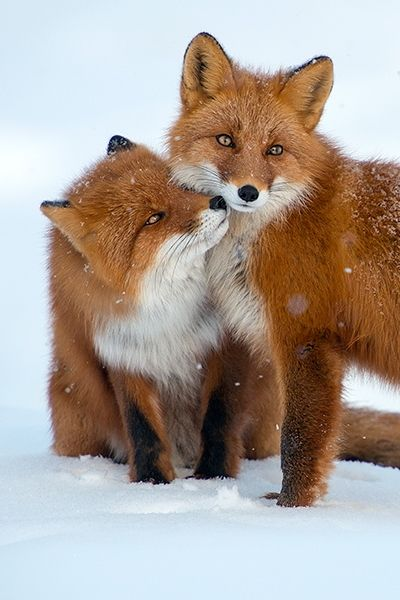 The red fox is a precious species, and they are extremely endangered to become extinct. DO NOT let these beautiful animals lose in this world, take a stand and do some research on what you can do to help save the species!