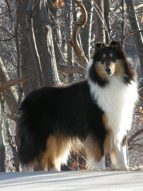 Handsome Lad - tri-color Collie