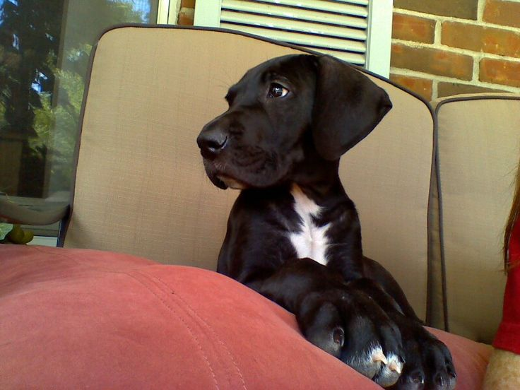 Black Great Dane Puppy. My dog looks exactly like this ...