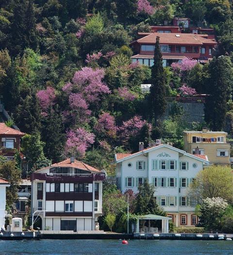 Judas trees on Bosphorus.. erguvan ağacı istanbul