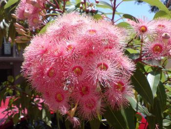Summer Beauty - Angus Stewarts top gum trees for gardens