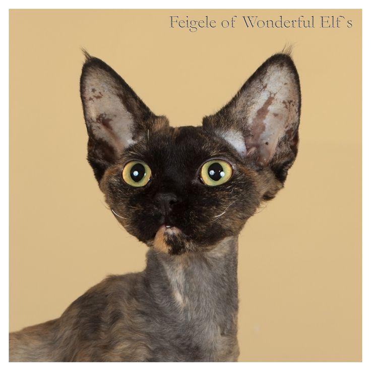 Питомник девон рексов DEVONLAND: Feigele Wonderfule Elf`s 8.5 мес. - новые фото - ф...