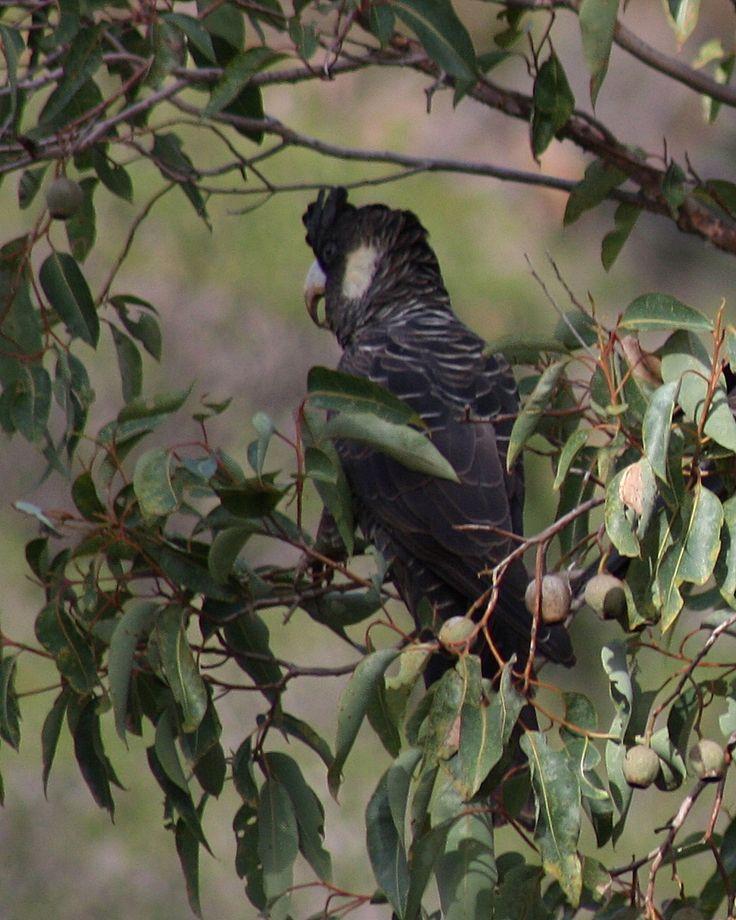 Baudin's Black-Cockatoo at Ellis Brook 1