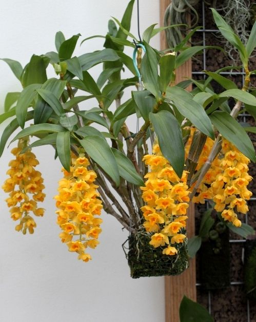Dendrobium densiflorum ~ So so cute! A daffodil tree... Mine is really a baby comparing to this huge beauty.
