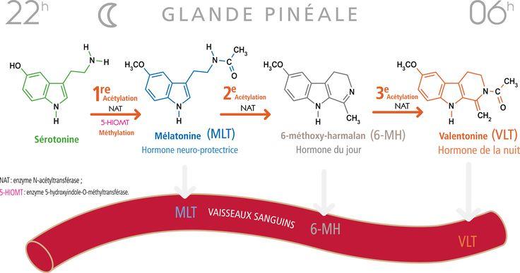 Biosynthèse des 3 hormones dans la glande pinéale à partir de la sérotonine, entre 22h et 6h du matin.
