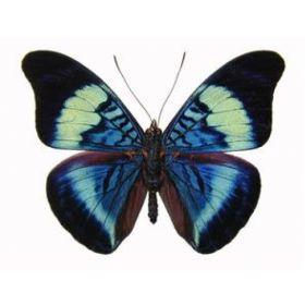 Vlinders :: Panacea prola