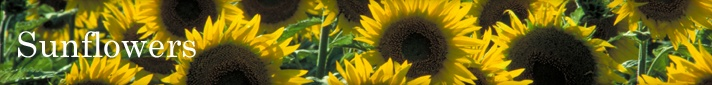 Sunflowers - Pioneer Hi-Bred Sunflower Information Page