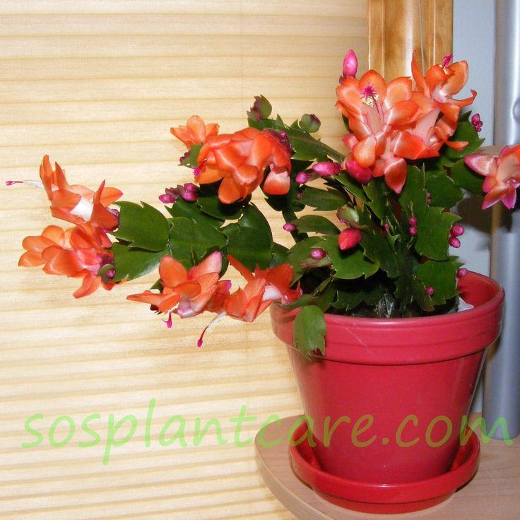 81 Best Holiday Cacti Schlumbergera Hatiora