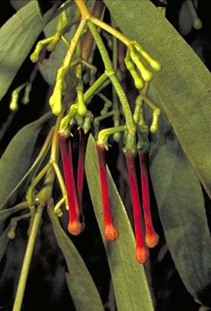 Australian mistletoe
