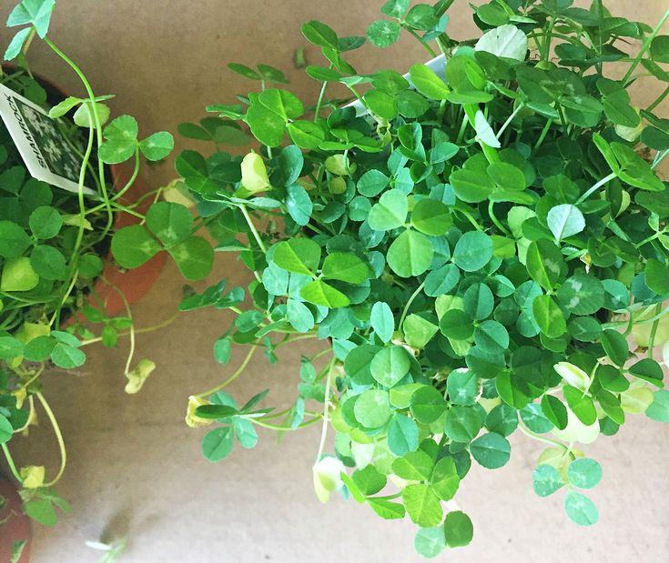 Best 25 shamrock plant ideas on pinterest purple shamrock image ox tails and plants indoor - Shamrock houseplant ...