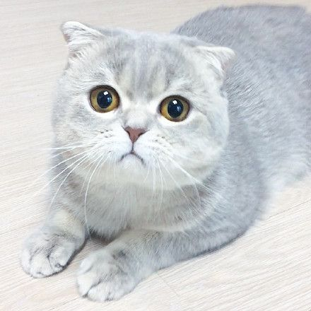 One and half -years old  Scottish fold.