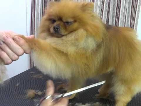 Step by step instructions for making your Pomeranian beautiful, but easier to maintain.