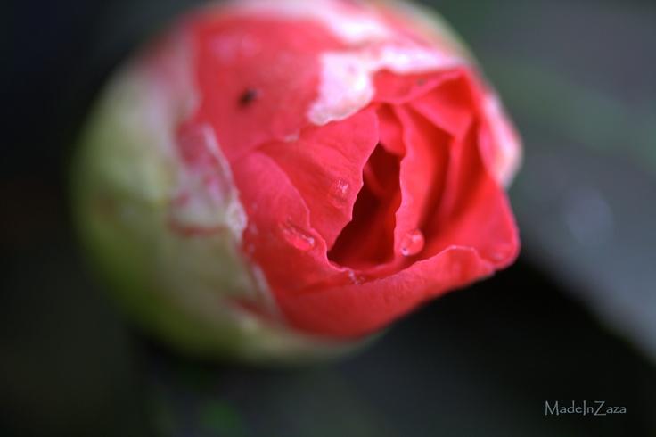 Bouton de camélia - Isabelle Darras