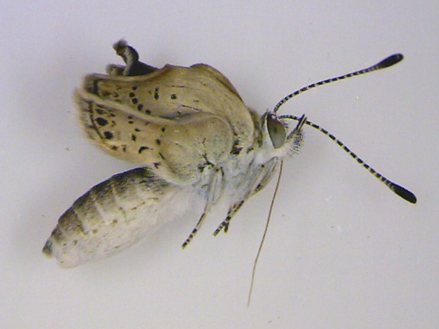 Radiation from Japan nuclear disaster results in mutant butterflies