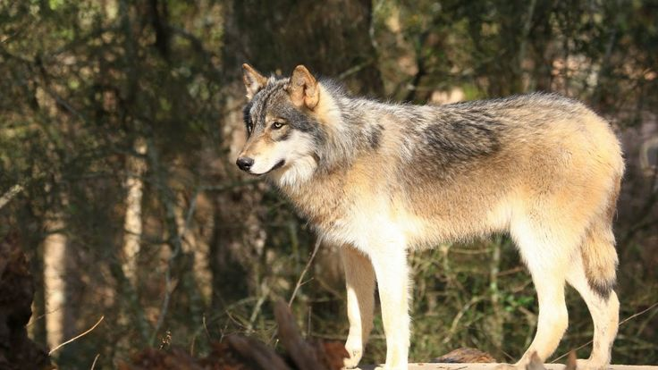 Pet the Wolves at Seacrest Wolf Preserve, Chipley