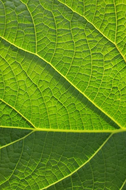 This is a close up of a leaf. I love how the veins look like the inside of a plant cell which I have also been looking at.